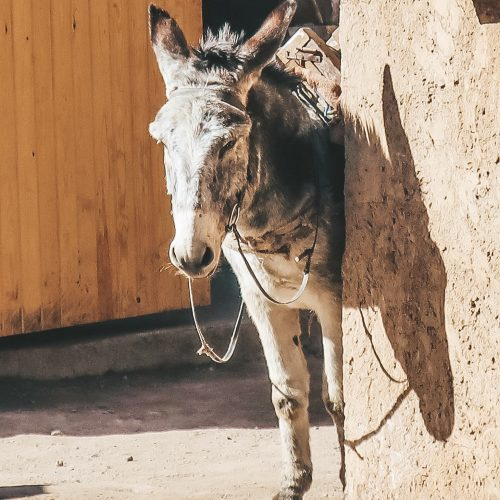 Donkey Marrakech